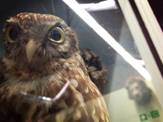 owl in booth museum